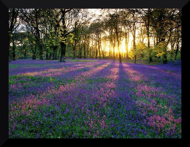 ( CONCOURS Cottage ) L'Amour est un doigté de violettes.