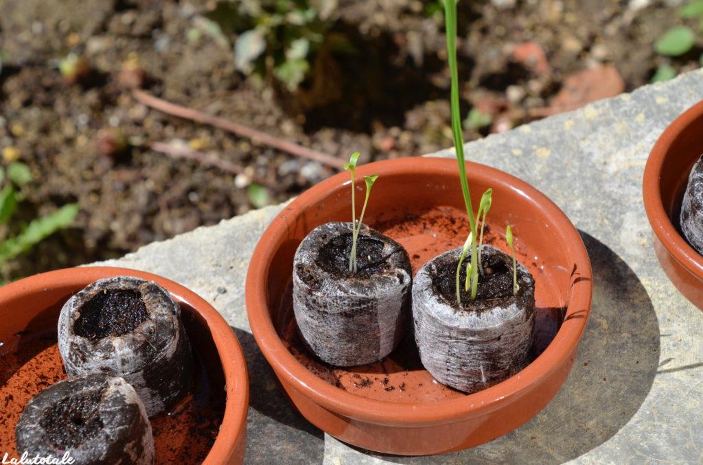Mon Petit coin vert semis coriandre
